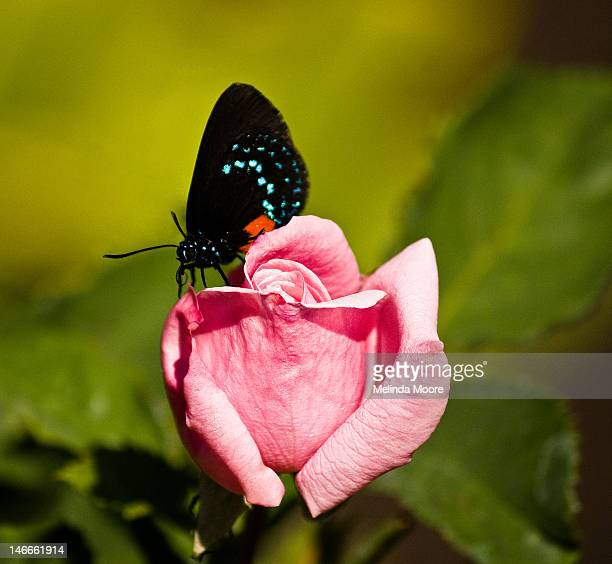 rare endangered atala butterfly - eumaeus stock photos and pictures