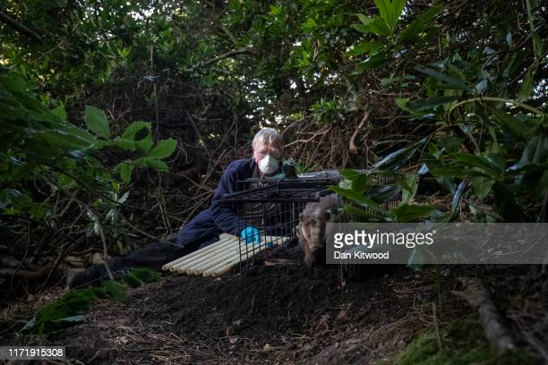 A rare Erythristic Badger cub is released from a trap after being vaccinated on September 03 2019 in the Peak District England The 'Derbyshire Badger...