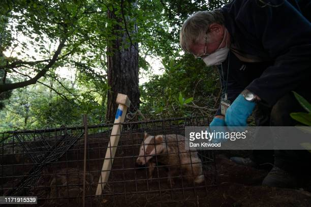 A rare Erythristic Badger cub is vaccinated on September 03 2019 in the Peak District England The 'Derbyshire Badger Vaccination Project' run and...