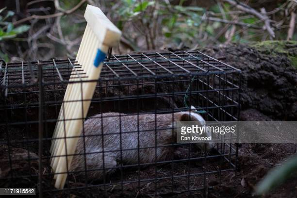 A rare Erythristic Badger cub sits in a trap before being vaccinated and released on September 03 2019 in the Peak District England The 'Derbyshire...