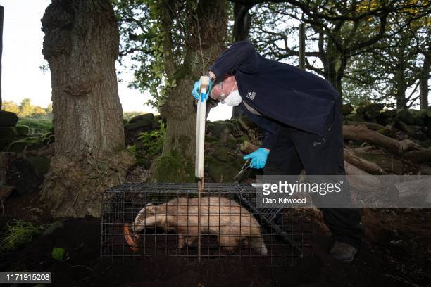 A rare Erythristic Badger is released from a trap after being vaccinated on September 03 2019 in the Peak District England The 'Derbyshire Badger...