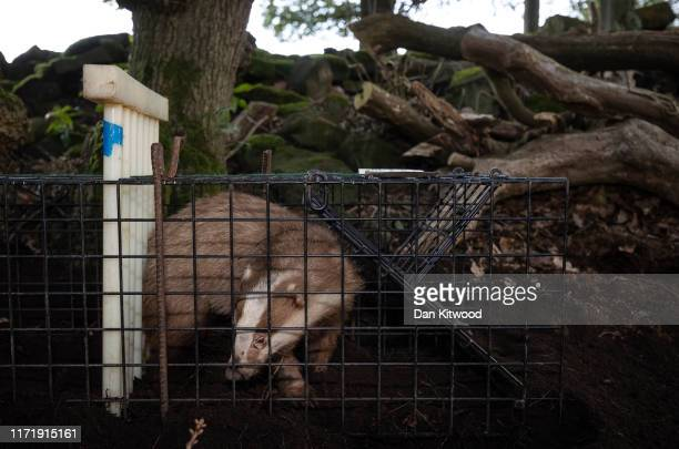 A rare Erythristic Badger is stands in a trap before being vaccinated on September 03 2019 in the Peak District England The 'Derbyshire Badger...