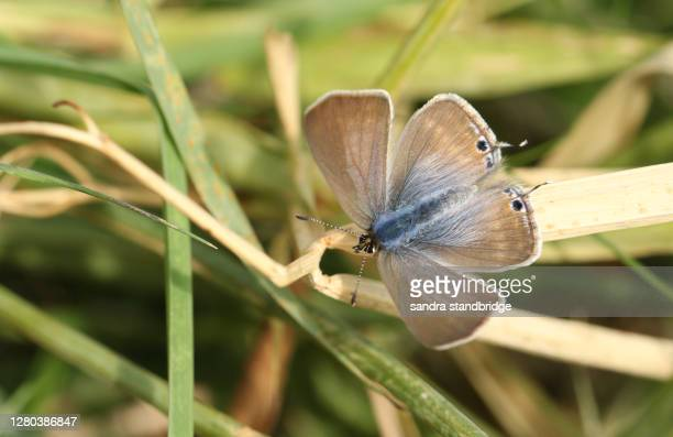 a rare female long-tailed blue butterfly, lampides boeticus, resting on a grass stem with open wings. - brown stock pictures, royalty-free photos & images