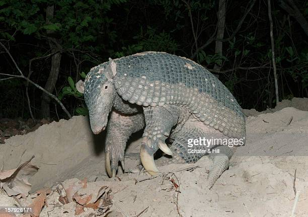 rare giant armadillo, brazil - armadillo stock pictures, royalty-free photos & images