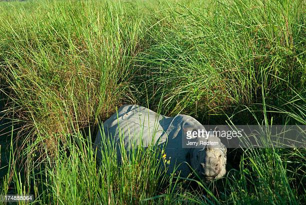 A rare Great Onehorned Rhinoceros looks up from inside a stand of twometertall elephant grass at tourists traveling on elephant back through...