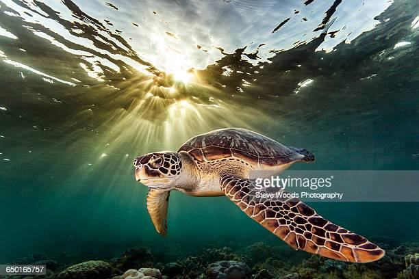 rare green sea turtle (chelonia mydas), swimming in open ocean, moalboal, cebu, philippines - green turtle stock pictures, royalty-free photos & images