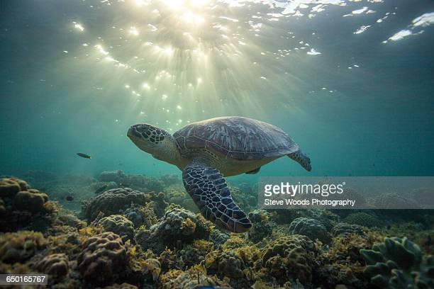 Rare green sea turtle (Chelonia Mydas), swimming in open ocean, Moalboal, Cebu, Philippines