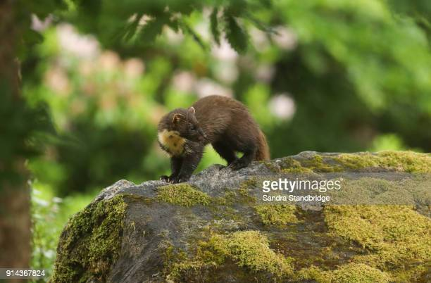 a rare hunting pine marten (martes martes) standing on a rock covered in moss in the highlands of scotland. - pine marten stock pictures, royalty-free photos & images