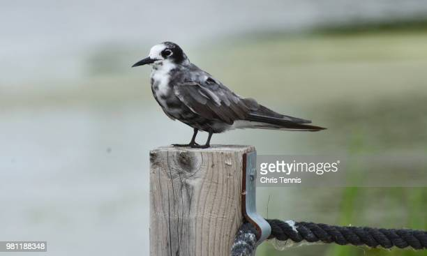 rare in wisconsin-black tern 1 - iowa_county,_wisconsin stock pictures, royalty-free photos & images