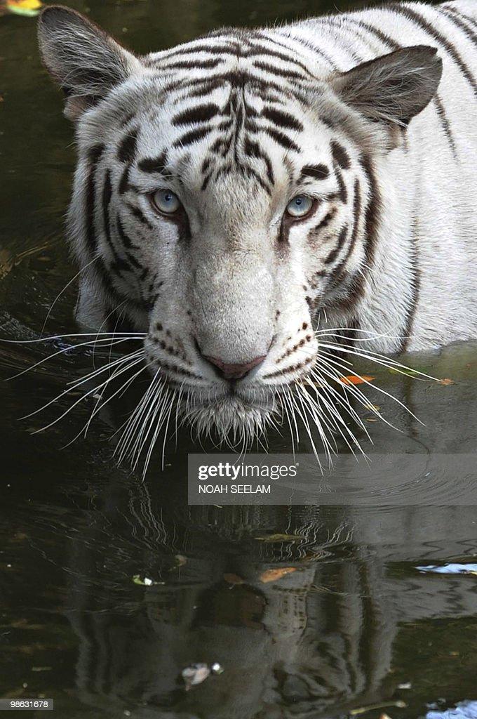 A rare Indian white tiger soaks in a pon : Nieuwsfoto's