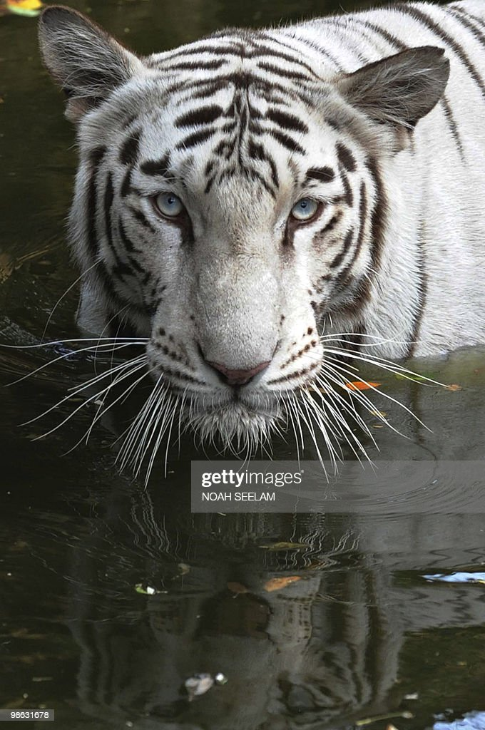 A rare Indian white tiger soaks in a pond at the Nehru Zoological Park in Hyderabad on April 23, 2010. As temperatures currently hover around the 40 degree celsius mark, the forthcoming Indian monsoon which runs July till September, vital to hundreds of millions of farmers and of crucial importance after the worst drought in 30 years, will be normal strength this year, the weather office said April 23. AFP PHOTO /Noah SEELAM