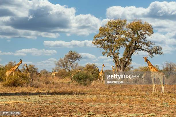 rare kordofan giraffes (giraffa camelopardalis antiquorum) in zakouma, chad - cameroon stock pictures, royalty-free photos & images