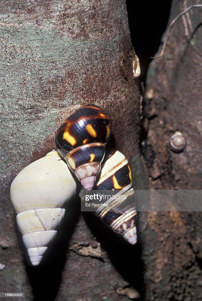 Rare Liguus Tree Snails (50 varieties) on Hardwood Hammock trees, Everglades National Park, Florida, USA : Stock Photo