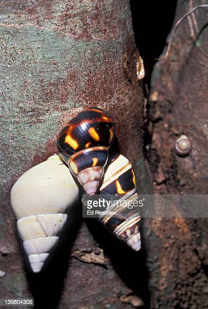 rare liguus tree snails (50 varieties) on hardwood hammock trees, everglades national park, florida, usa - ed reschke photography stock photos and pictures
