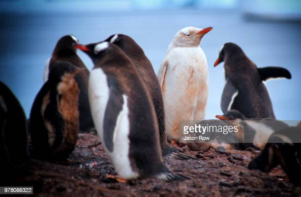 rare long-tailed gentoo penguin (pygoscelis papua) with pale plumage - colony group of animals stock photos and pictures