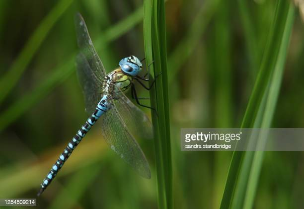 a rare male southern migrant hawker dragonfly, aeshna affinis, perching on a reed in the uk. - south stock pictures, royalty-free photos & images