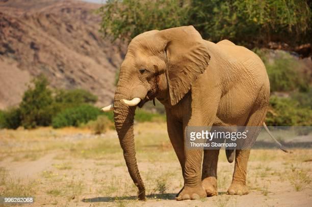 Rare Namibian desert elephant (Loxodonta africana), Hoanib, Namib, Kaokoveld, Kunene, Namibia