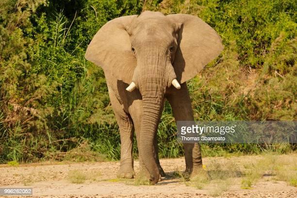 Rare Namibian Desert Elephant (Loxodonta africana), Hoanib River, Namib, Kaokoveld, Kunene, Namibia