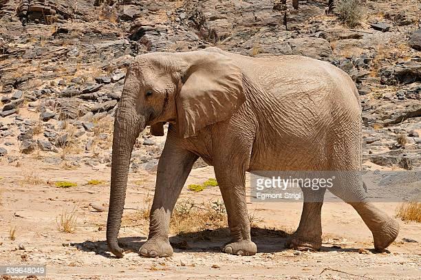 rare namibian desert elephant -loxodonta africana-, hoanib river, namib desert, kaokoland, kaokoveld, kunene province, namibia - desert elephant stock pictures, royalty-free photos & images