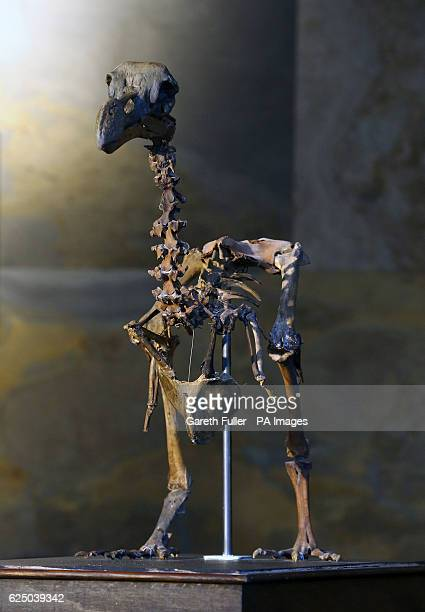 A rare nearcomplete Dodo skeleton is sold for a total of pound346300 at Summers Place Auctions in Billingshurst West Sussex