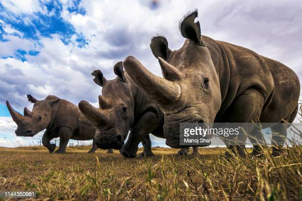 rare northern white rhinos in laikipia savanna. - africa stock pictures, royalty-free photos & images