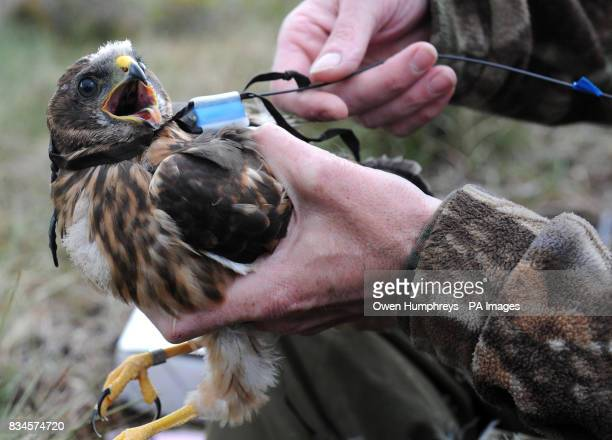 A rare one month old Hen Harrier chick which has been fitted with a Remote Satellite receiver