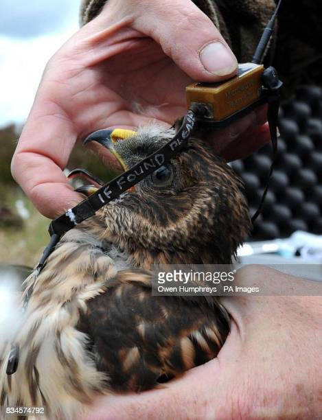 Rare one month old Hen Harrier chicks which have been fitted with Remote Satellite receivers