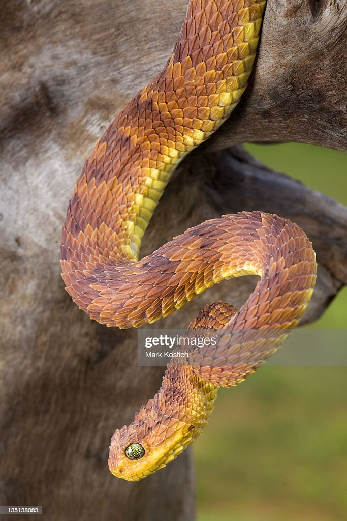 Rare Red Phase Bush Viper Stock Photo - Getty Images