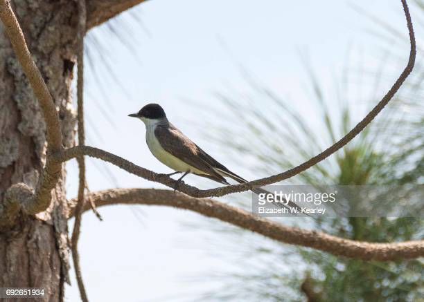 Rare Sighting of a Fork-tailed Flycatcher