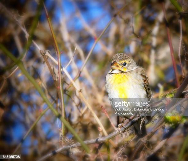 rare sighting of dickcissel in babylon, long island in winter - blue cardinal bird stock pictures, royalty-free photos & images