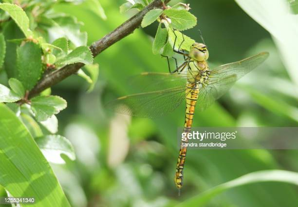 a rare southern migrant hawker dragonfly, aeshna affinis, perching on a branch in the reeds in the uk. - south stock pictures, royalty-free photos & images