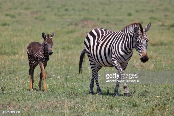 rare spotted zebra - zebra stock-fotos und bilder