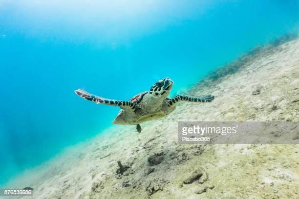 Seltene Unterwasser Begegnung mit kritisch vom Aussterben bedrohten Karettschildkröte (Eretmochelys Imbricata)