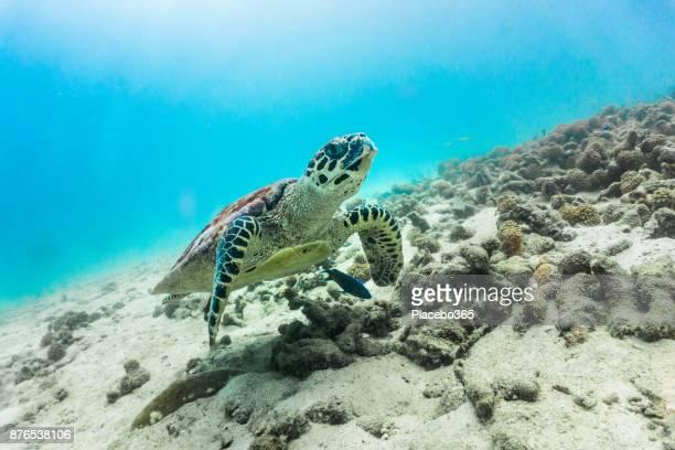 Rare underwater encounter with Critically Endangered Hawksbill Sea Turtle (Eretmochelys imbricata)