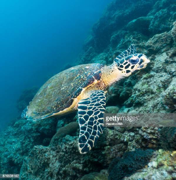 珍しい水中遭遇と批判的に危険にさらされた海タイマイ (生息する)
