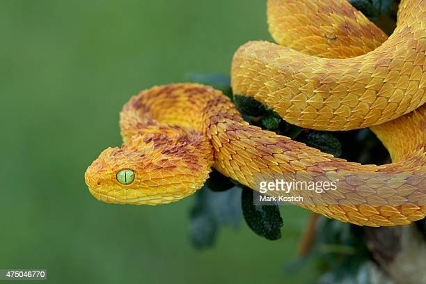 rare variable bush viper (red/yellow phase) in rainforest - endangered species stock pictures, royalty-free photos & images