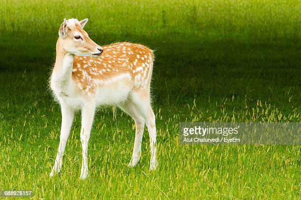 Rare View Of Fawn On Grassy Field