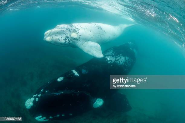 rare white southern right whale calf and it's mother in the shallow protected waters of the nuevo gulf, valdes peninsula, argentina, a unesco world heritage site.. - duroni foto e immagini stock