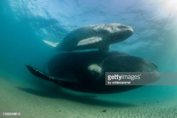 rare white southern right whale calf and it's mother swimming along the bottom in the shallow protected waters of the nuevo gulf, valdes peninsula, argentina, a unesco world heritage site.. - duroni foto e immagini stock