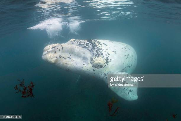 rare white southern right whale calf playing in the surge in the shallow protected waters of the nuevo gulf, valdes peninsula, argentina, a unesco world heritage site.. - duroni foto e immagini stock