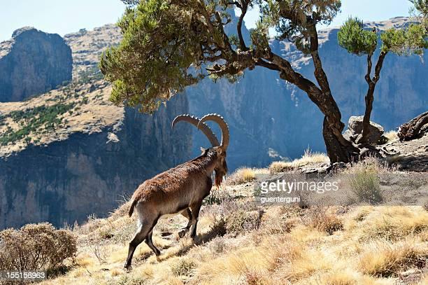 Rare wildlife shot of a Walia Ibex, Simien Mountains, Ethiopia