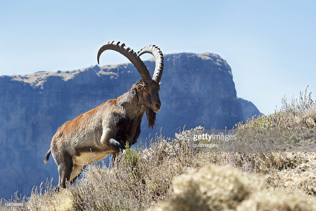 Rare wildlife shot of a Walia Ibex, Simien Mountains, Ethiopia : Stock Photo