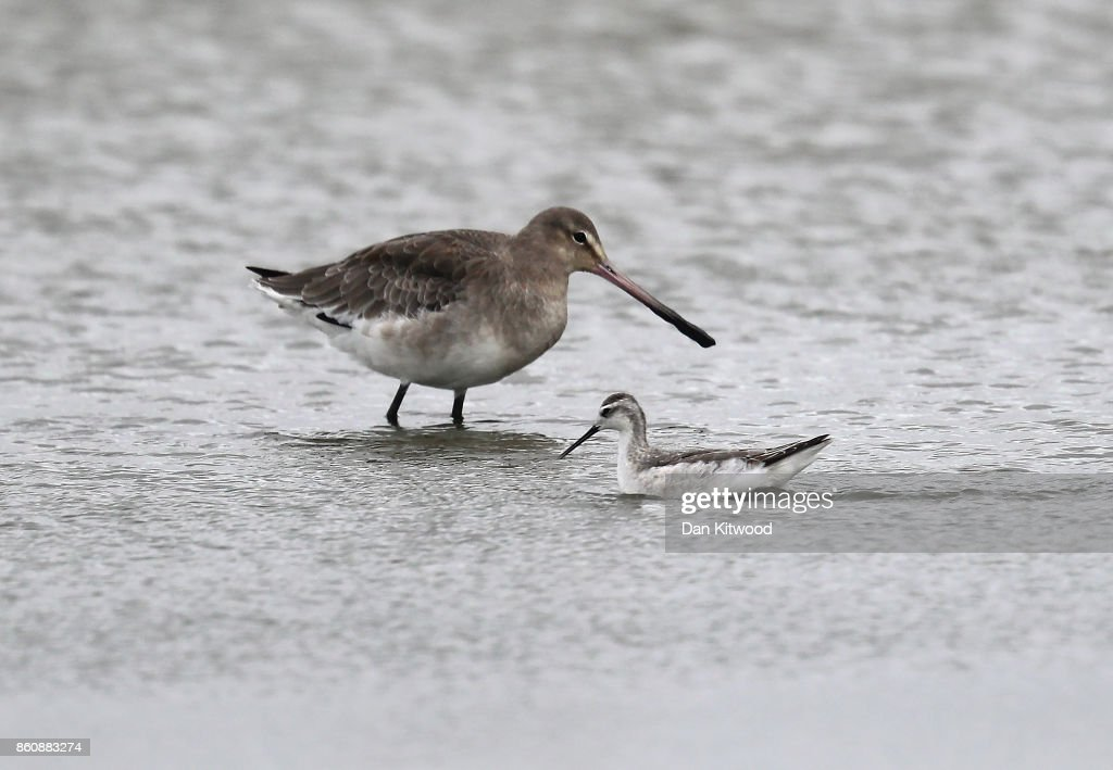 A rare Wilson's Phalarope (foreground) swims past a Black Tailed Godwit at the Kent Wildlife Trust's Oare Marshes in the Thames Estuary on October 13, 2017 in Faversham, England.