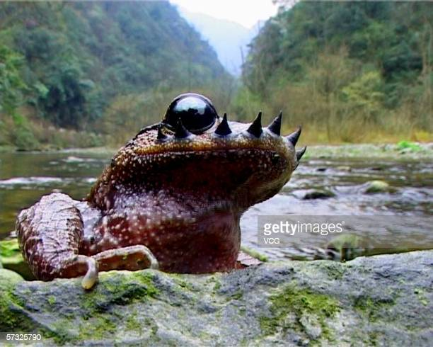 A rare Yunnan mustache toad is seen on April 12 in Guizhou province China The rare species is only found in the Ailao Mountain and Wuliang Mountain...