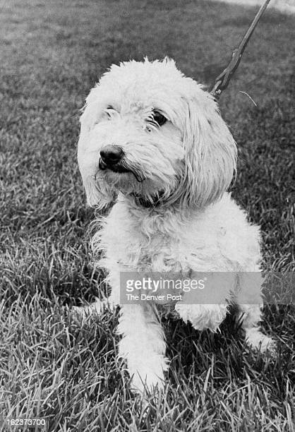 MAY 16 1980 MAY 17 1980 Rarin' To Go Adam a 2é¦/2yearold neutered poddleterrier male tugs at his leash as if in a hurry to get to a new home He and...