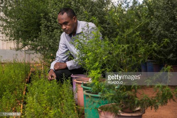 Rasamiharimanana Solofo an agricultural engineer and researcher within the company BIONEXX inspects plants of artemisia annua growing in greenhouses...