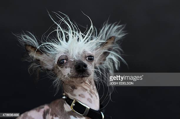 Rascal a Chinese Crested is poses for a portrait after competing in the World's Ugliest Dog Competition in Petaluma California on June 26 2015 Quasi...