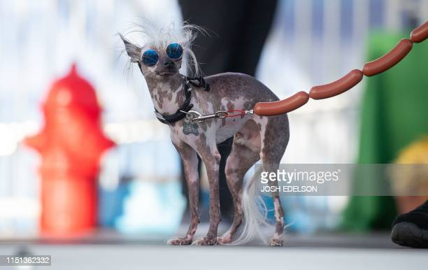Rascal Deux a naturally hairless mix with a crooked face two different colored eyes and a loose tongue walks the stage during the World's Ugliest Dog...