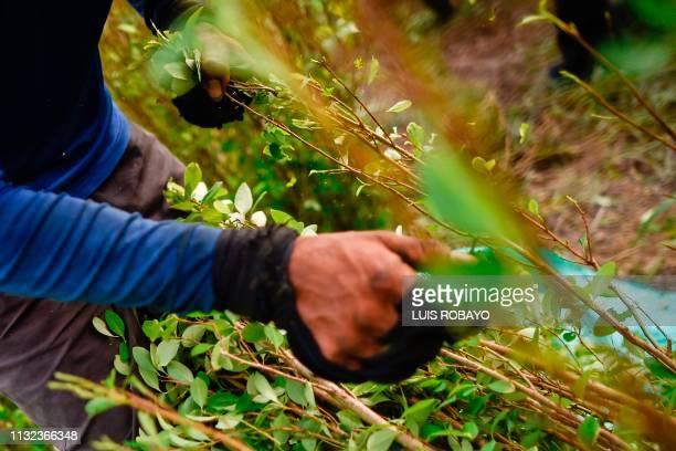 A Raspachin works at a coca plantation in the Catatumbo region Norte de Santander department in Colombia on February 8 2019 In Colombia almost one...