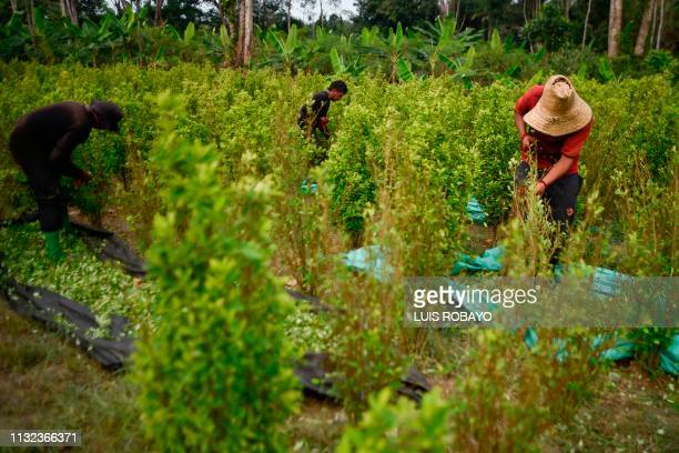 Raspachines work at a coca plantation in the Catatumbo region Norte de Santander department in Colombia on February 8 2019 In Colombia almost one and...
